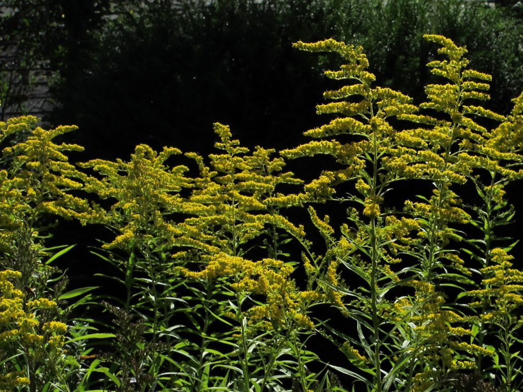 Bee-friendly Golden Rod
