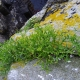 Perce-pierre or rock samphire